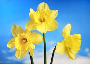 www.kathynick.com_daffodils